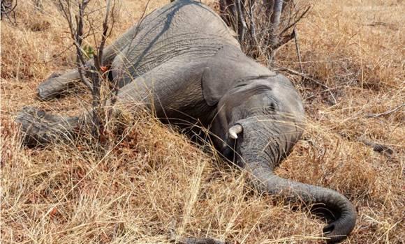Mostantól következmények nélkül vadászhatóak az elefántok Botswanában!